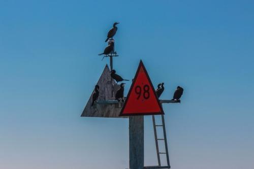 Cormorants along the ICW