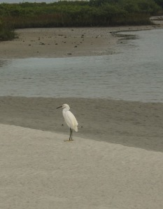 Snowy Egret sharing our little beach
